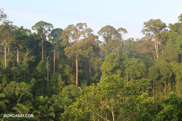 Oil palm plantation and rainforest border [sabah_sepilok_0696]