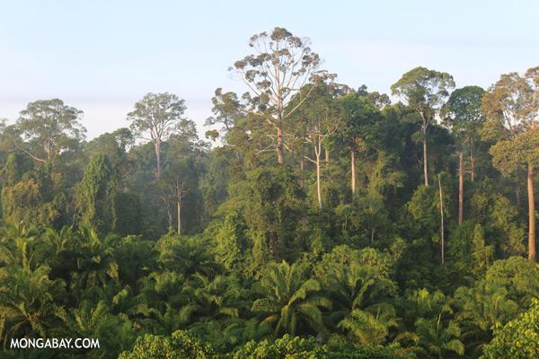 Oil palm plantation and rainforest border [sabah_sepilok_0697]