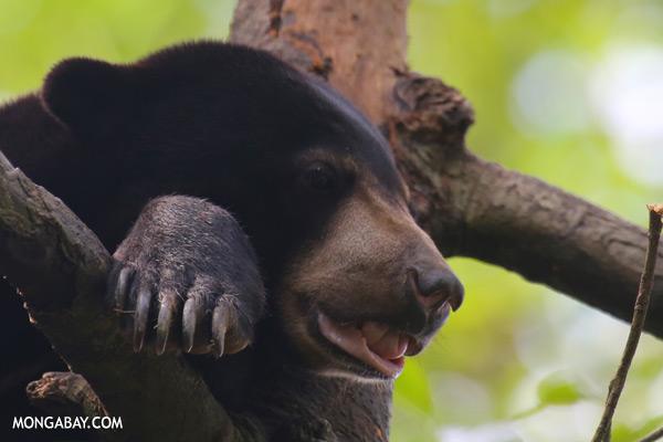 Malaysian sun bear in a tree [sabah_sepilok_0744]