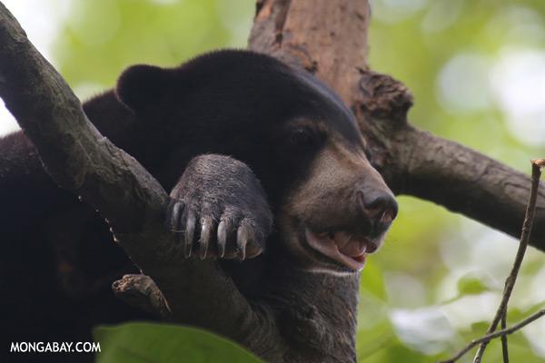 Malaysian sun bear in a tree [sabah_sepilok_0746]