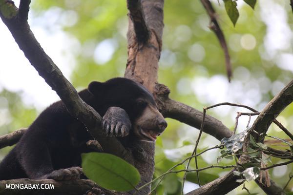 Malaysian sun bear in a tree [sabah_sepilok_0747]