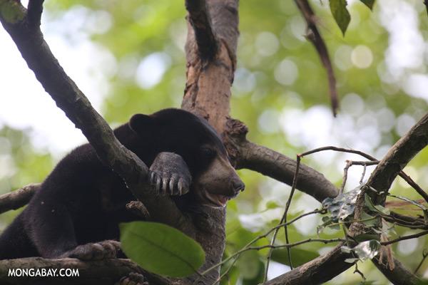 Malaysian sun bear in a tree [sabah_sepilok_0749]