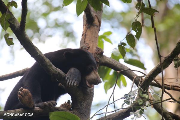 Malaysian sun bear in a tree [sabah_sepilok_0751]
