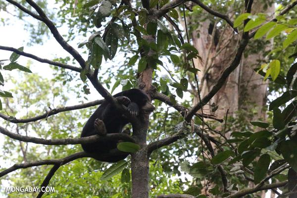 Malaysian sun bear in a tree [sabah_sepilok_0754]