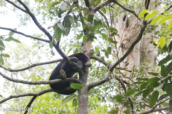 Malaysian sun bear in a tree [sabah_sepilok_0756]