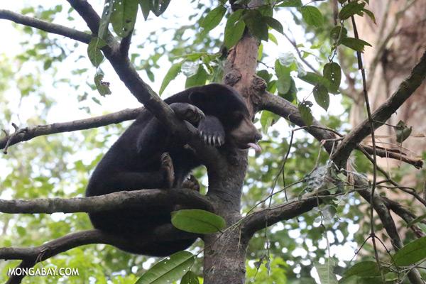 Malaysian sun bear in a tree [sabah_sepilok_0757]