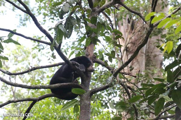 Malaysian sun bear in a tree [sabah_sepilok_0758]