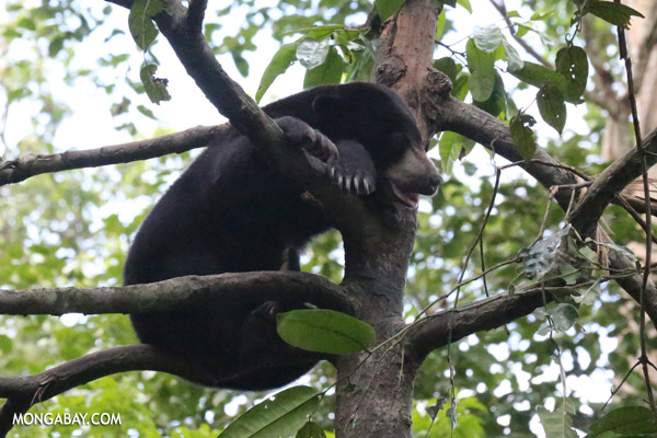 Malaysian sun bear in a tree [sabah_sepilok_0759]