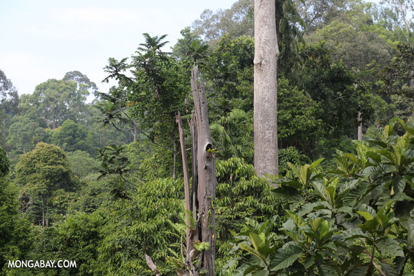 Dead rainforest trees