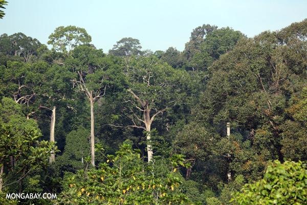 Rainforest canopy [sabah_sepilok_0788]