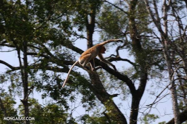 Proboscis monkey jumping [sabah_sepilok_0807]