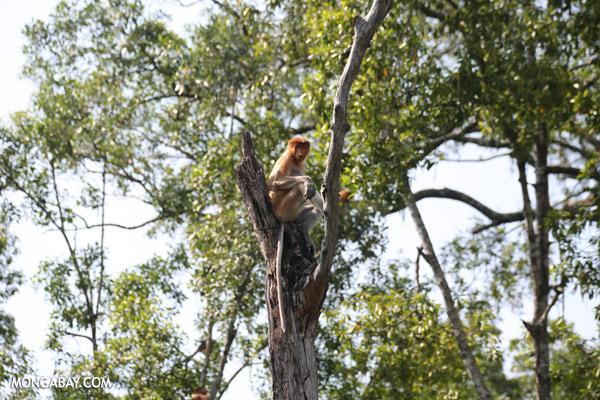 Proboscis monkey [sabah_sepilok_0810]