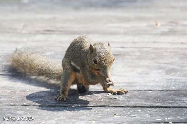 Squirrel [sabah_sepilok_0816]