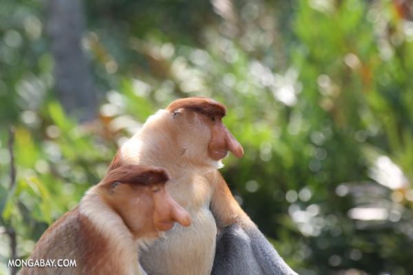 Proboscis monkey [sabah_sepilok_0821]