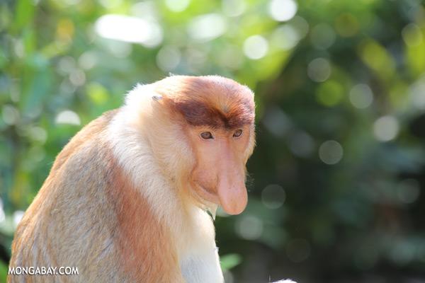 Proboscis monkey [sabah_sepilok_0825]
