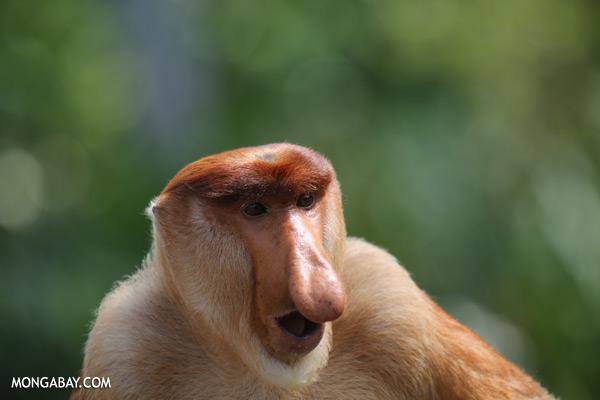 Proboscis monkey [sabah_sepilok_0830]