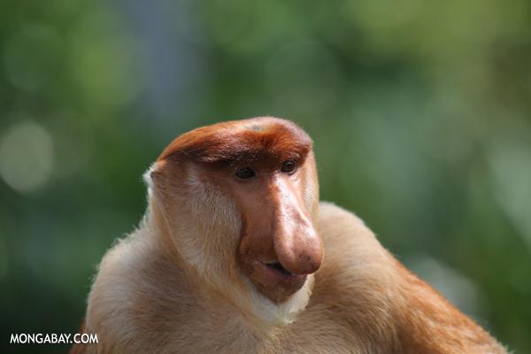 Proboscis monkey [sabah_sepilok_0833]