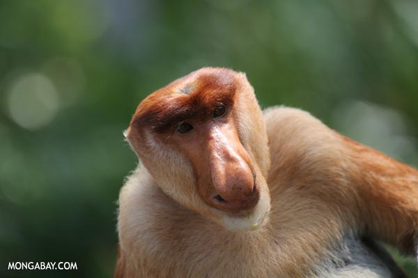 Proboscis monkey [sabah_sepilok_0835]