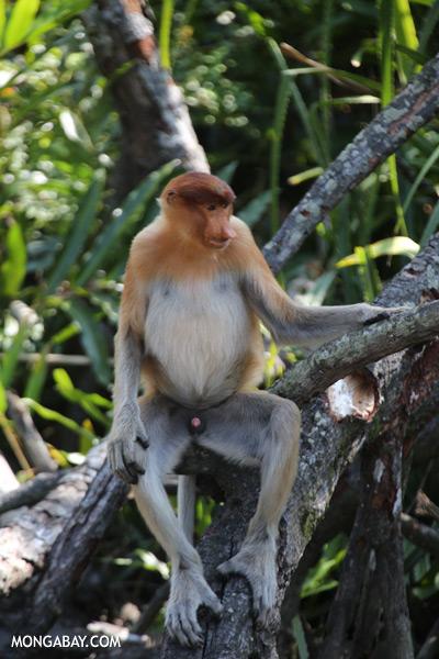 Proboscis monkey [sabah_sepilok_0839]