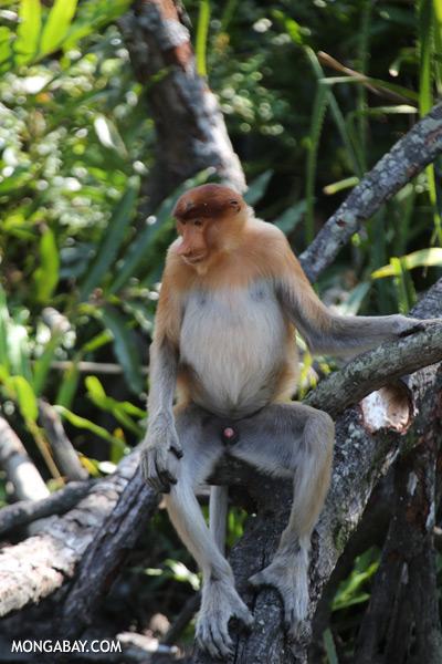 Proboscis monkey [sabah_sepilok_0840]