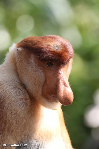 Proboscis monkey [sabah_sepilok_0845]