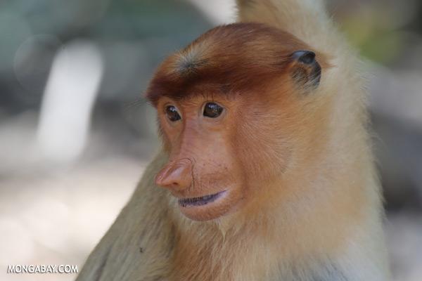 Proboscis monkey [sabah_sepilok_0848]