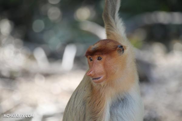 Proboscis monkey [sabah_sepilok_0849]