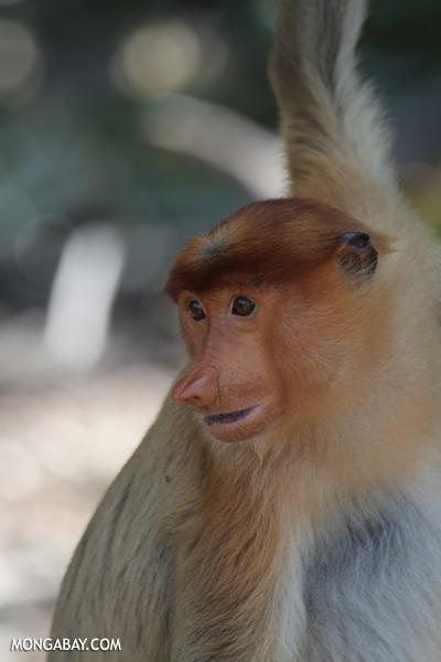 Proboscis monkey [sabah_sepilok_0851]