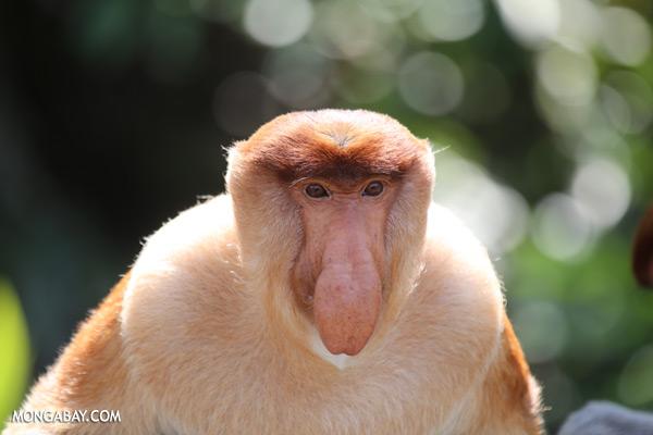 Proboscis monkey [sabah_sepilok_0855]