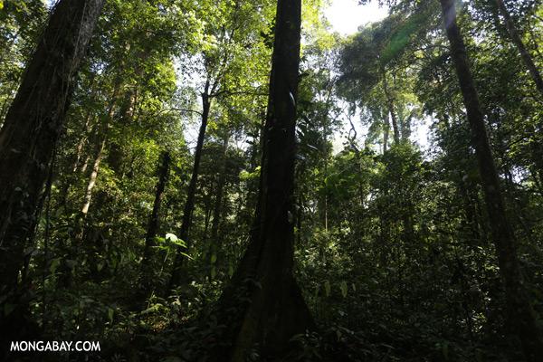 Tawau rainforest [sabah_tawau_0014]