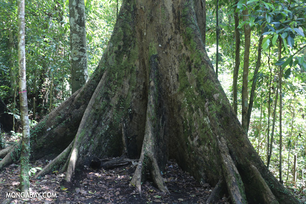 Buttress roots [sabah_tawau_0025]