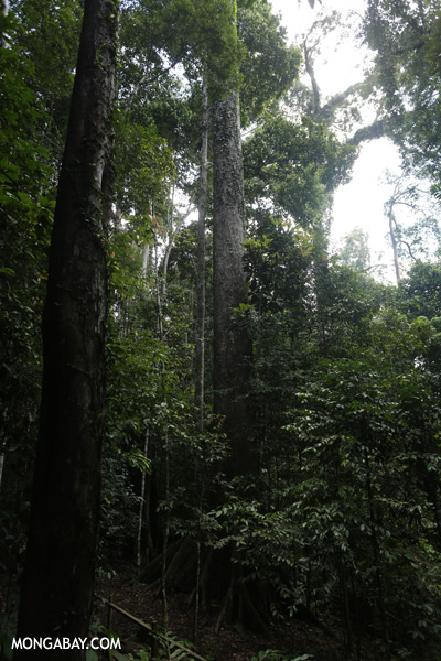 World's tallest tropical tree