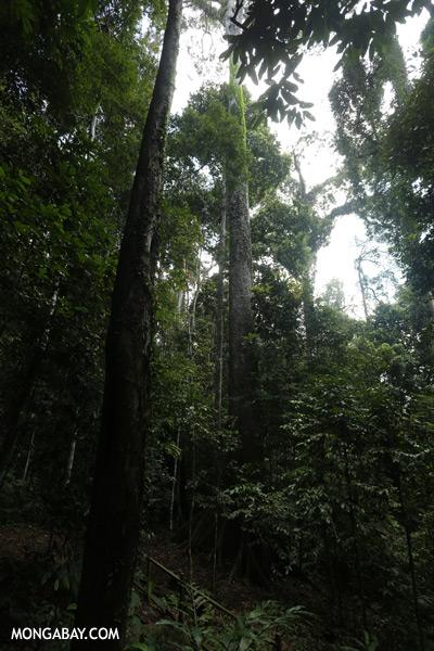World's tallest rainforest tree [sabah_tawau_0027]