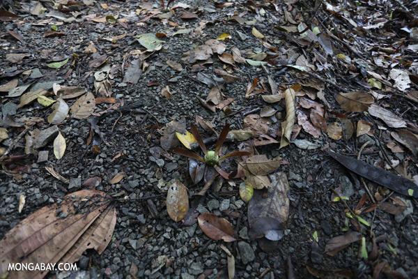 Dipterocarp seed