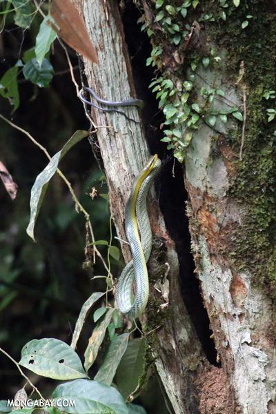 Snake [sabah_tawau_0039]