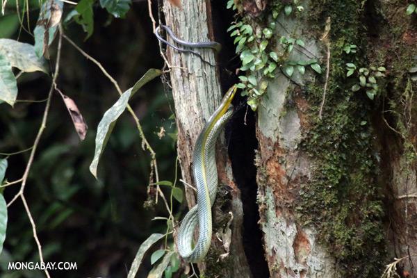Snake [sabah_tawau_0043]