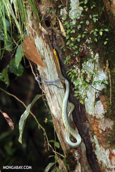Snake [sabah_tawau_0046]