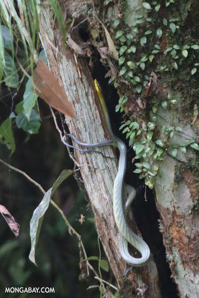 Snake [sabah_tawau_0052]