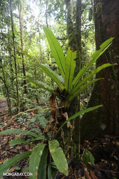 Epiphytic fern [sabah_tawau_0109]