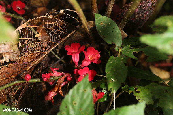 Red understory flowers in Borneo