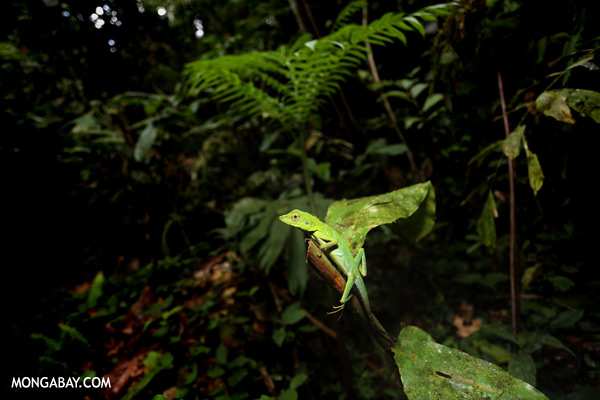 Green forest dragon [sabah_tawau_0126]