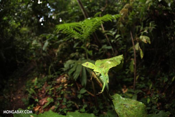 Forest dragon lizard [sabah_tawau_0127]