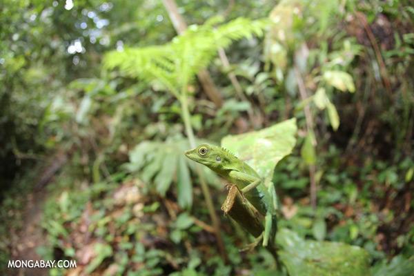 Forest dragon lizard [sabah_tawau_0128]