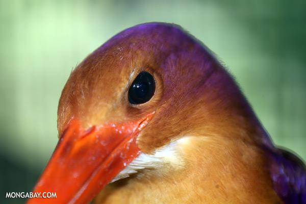 Kingfisher [sabah_tawau_0147]