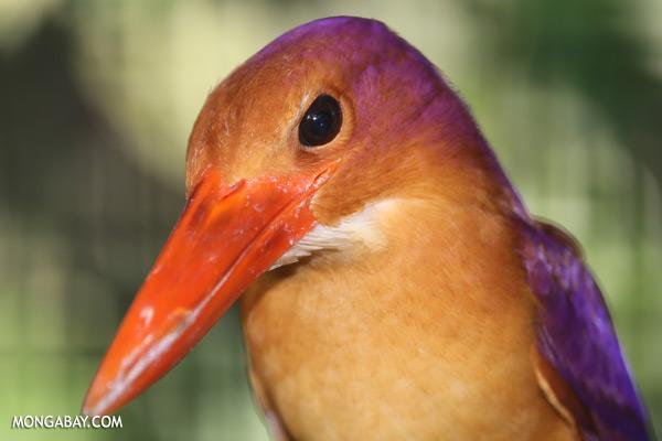Kingfisher [sabah_tawau_0148]