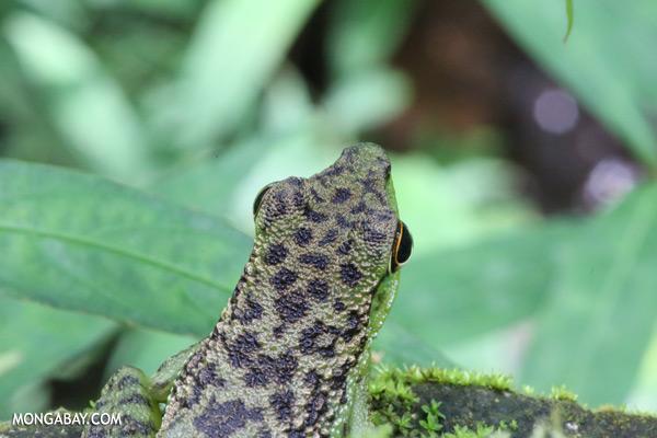 Frog [sabah_tawau_0159]