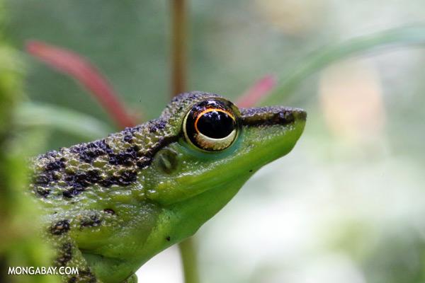 Frog [sabah_tawau_0164]