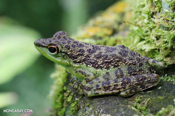 Frog [sabah_tawau_0182]