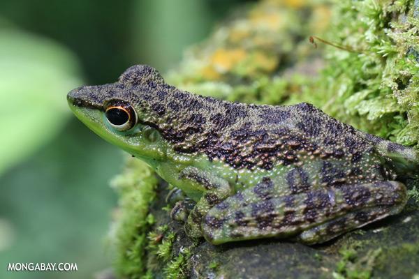 Frog [sabah_tawau_0186]