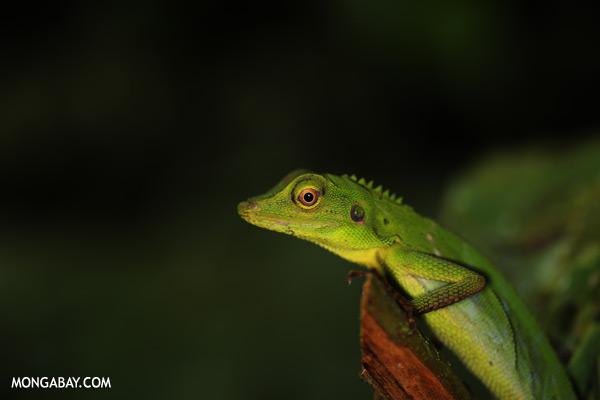 Green forest dragon [sabah_tawau_0202]